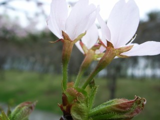 チシマザクラの花柄