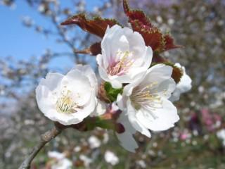 チシマザクラ 花